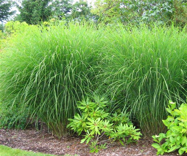 de botterhutte miscanthus sinensis gracillimus. Black Bedroom Furniture Sets. Home Design Ideas